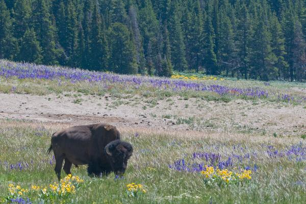 Bison amid the flowers (Yellowstone NP, Wyoming)